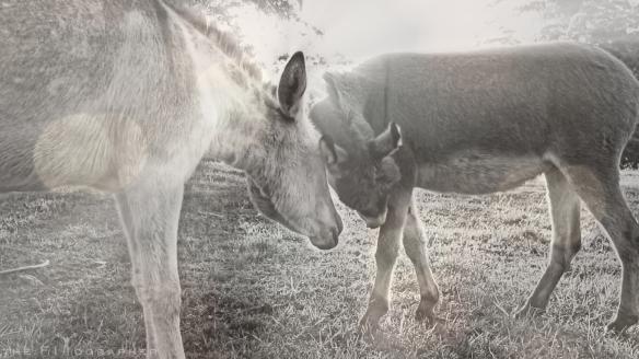Donkey Love 1918